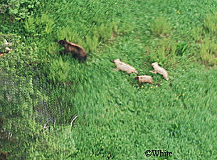 Light-colored black bear cubs
