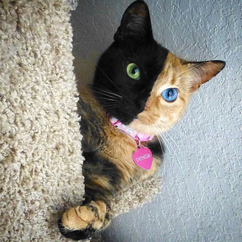 Venus, the Two Face Cat