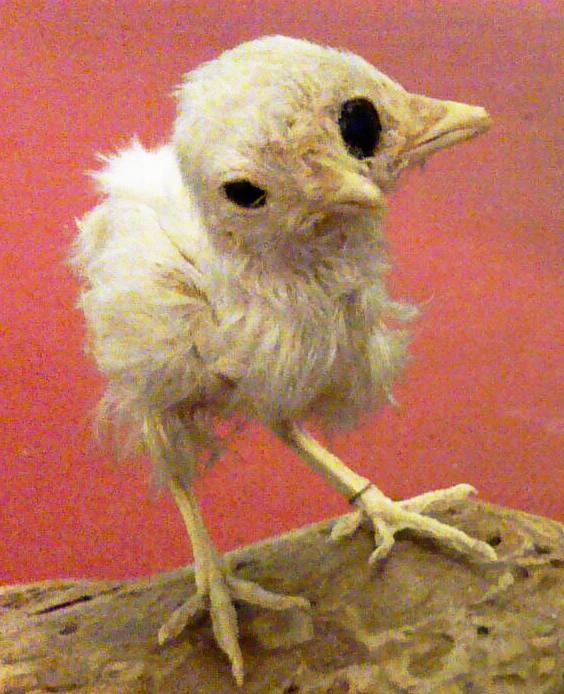 A malformed chick with two beaks and three eyes