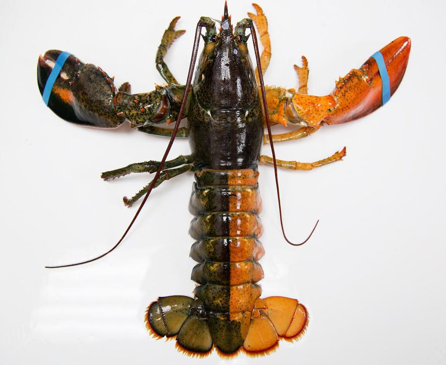 Two-Toned Lobster