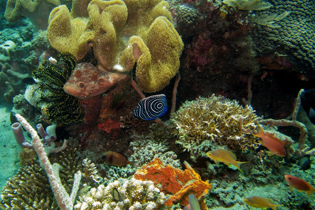 Coral reefs of East Timor and a Juvenile Emperor angelfish