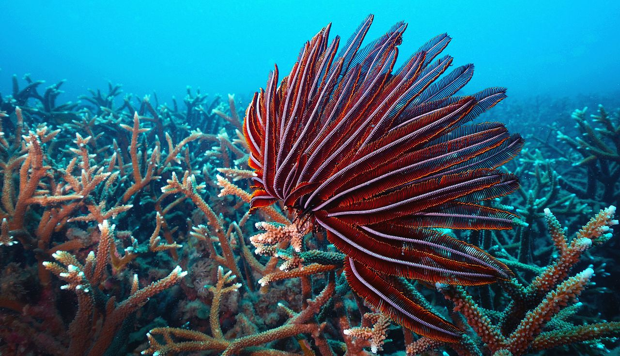 Barren Island Reef and a Crinoid (Feather Star)