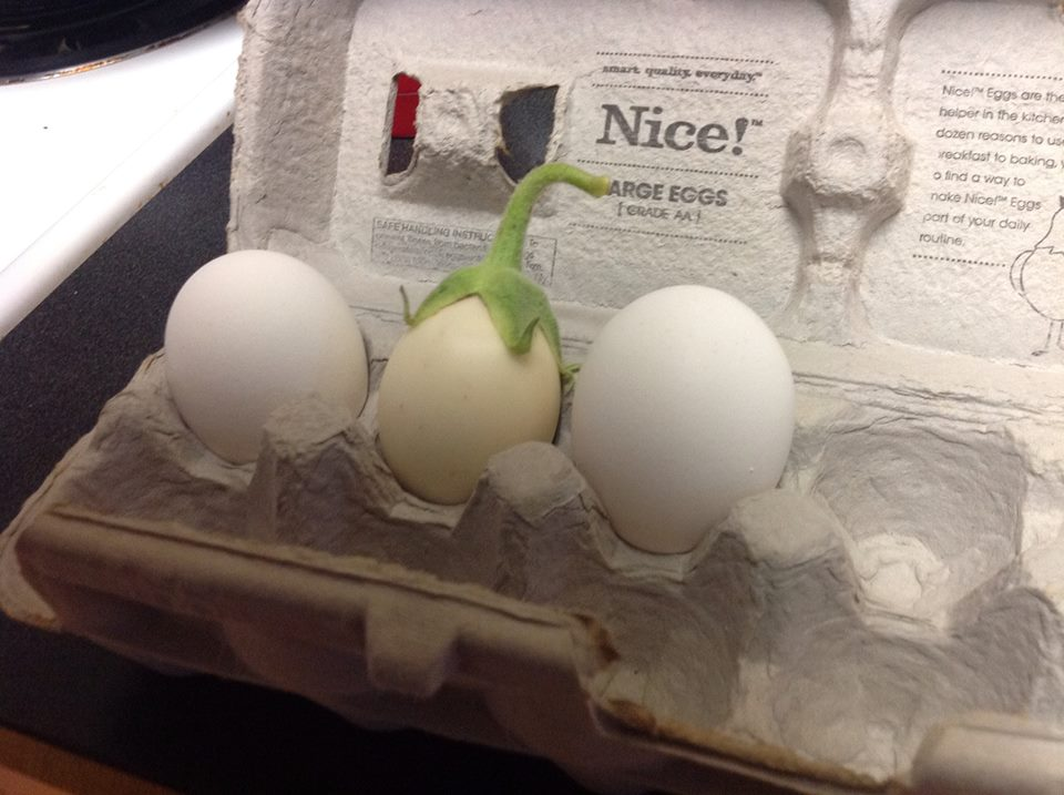 A white eggplant, comparing shape and size to two real chicken eggs