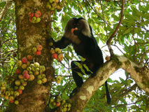 Lion-tailed macaque feeding on fig fruits