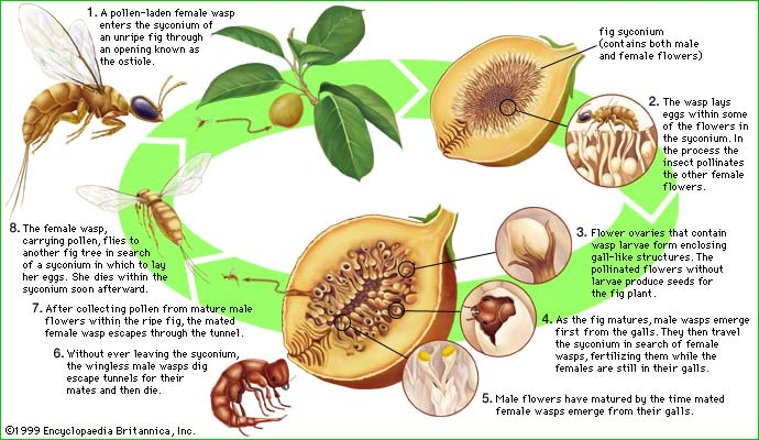 The fig wasp's life cycle is typified in the caprifig (Ficus carica sylvestris),