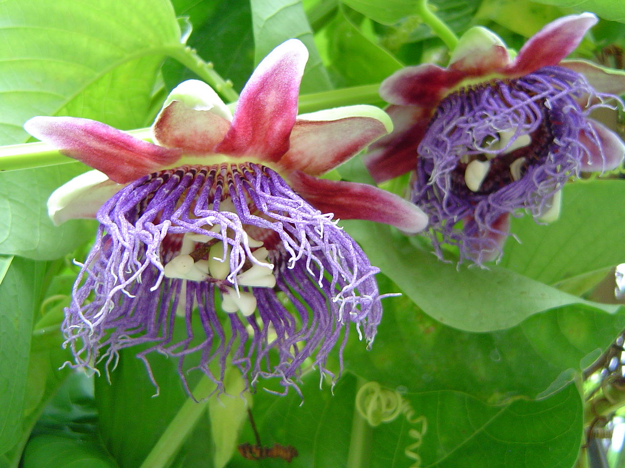 Passiflora quadrangularis