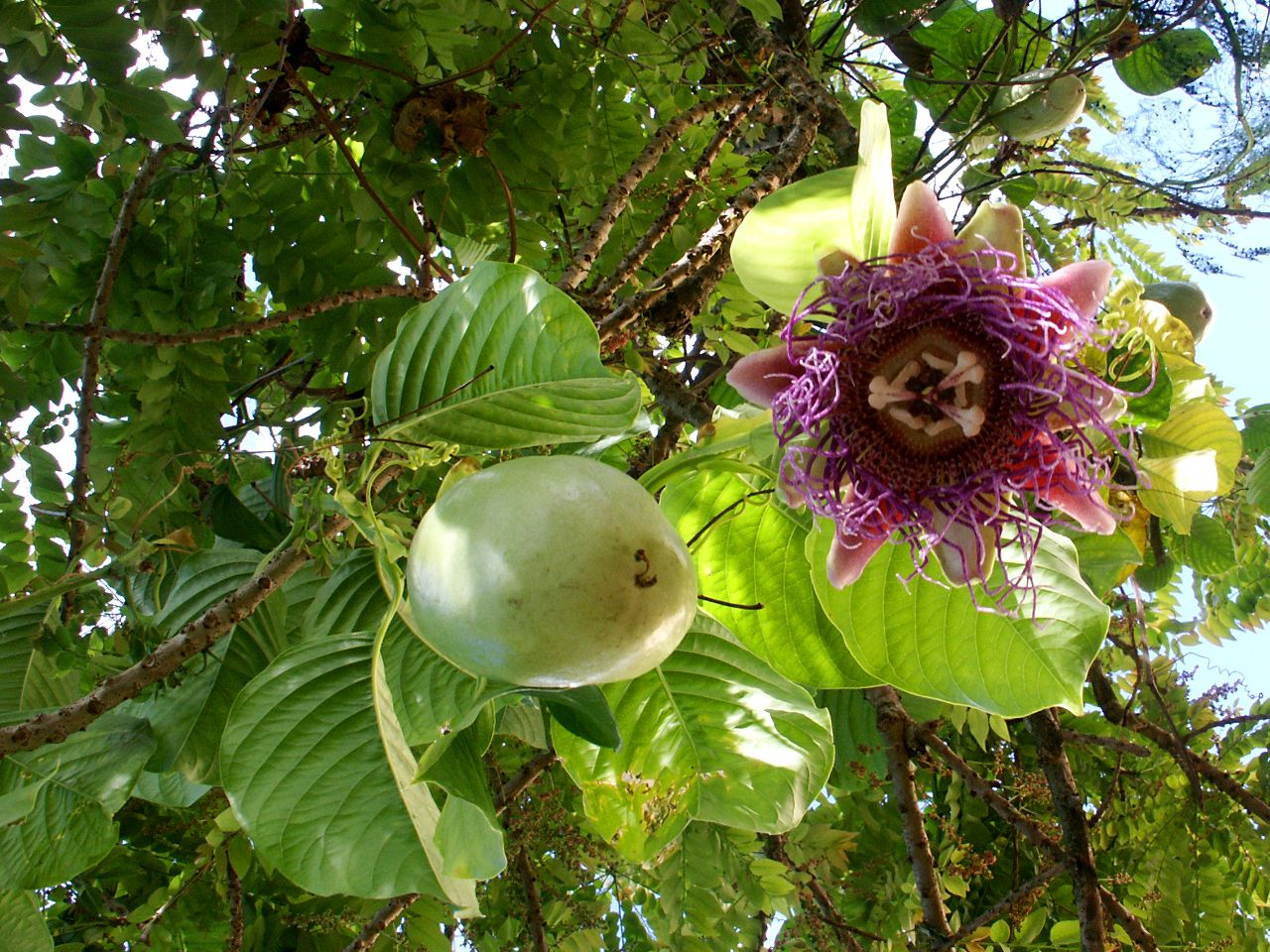 Passiflora quadrangularis flower and fruit