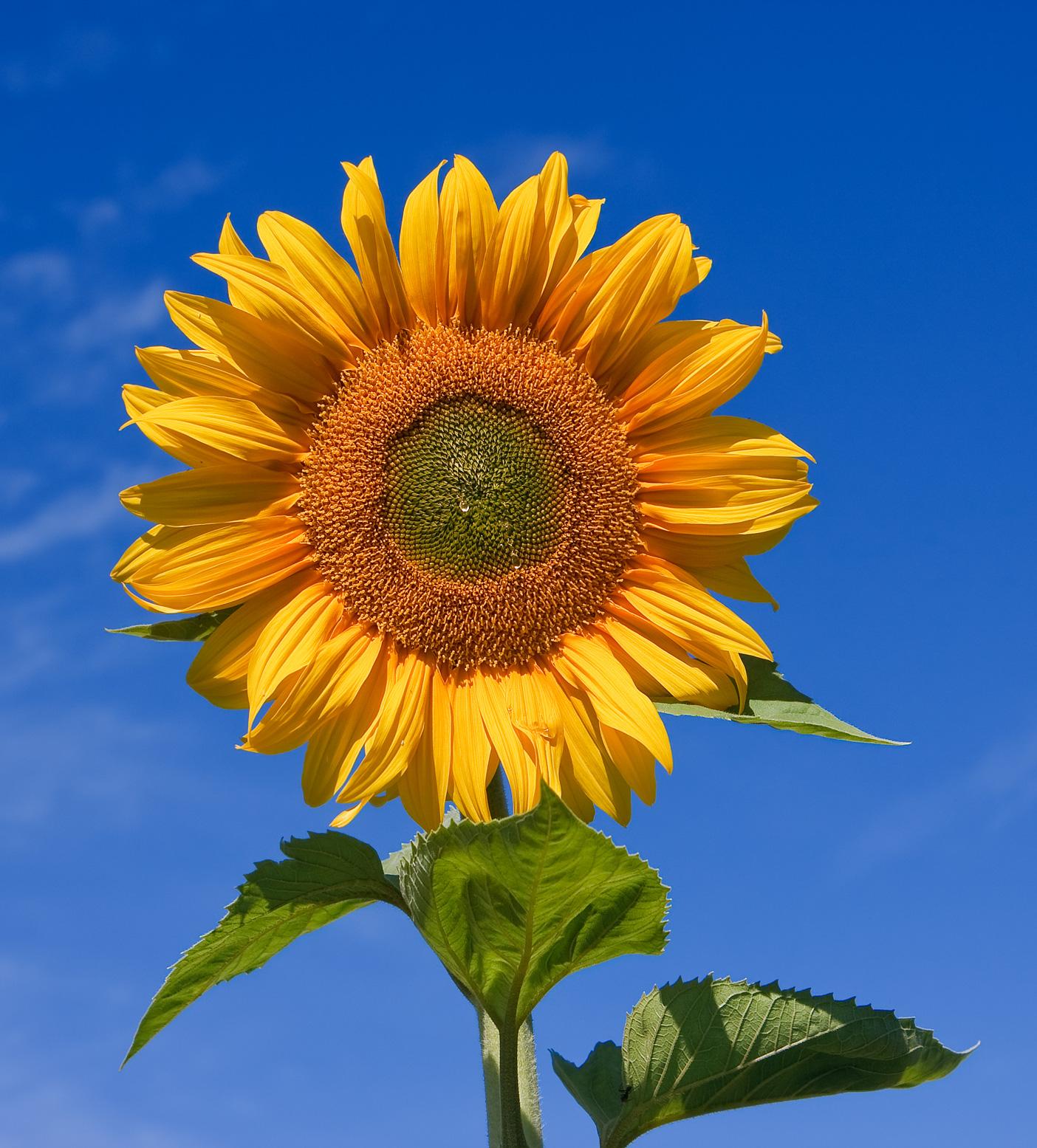 Sunflower daisy sunflower sunfola variety izmirmasajfo