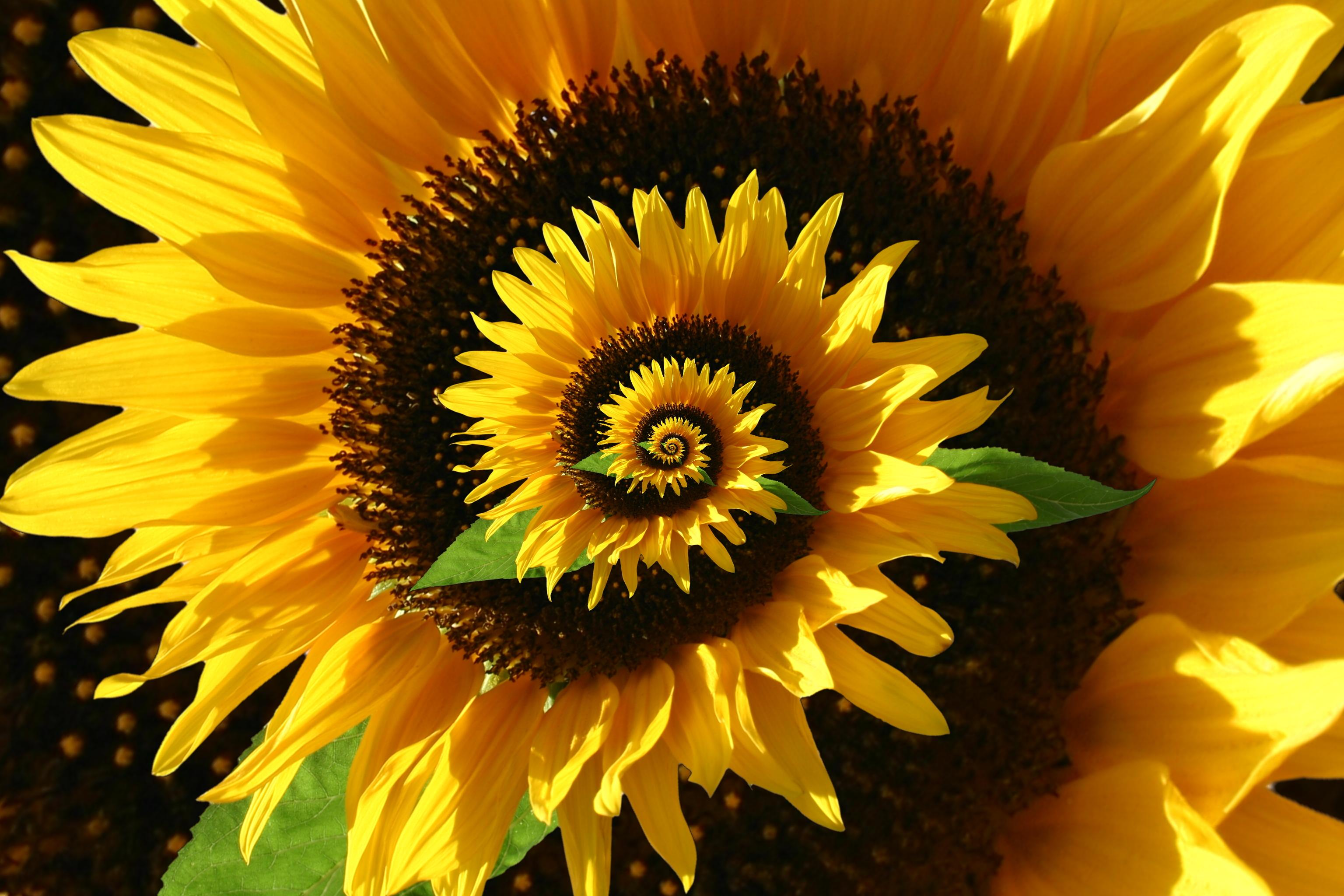 sun flowers and flower - photo #12