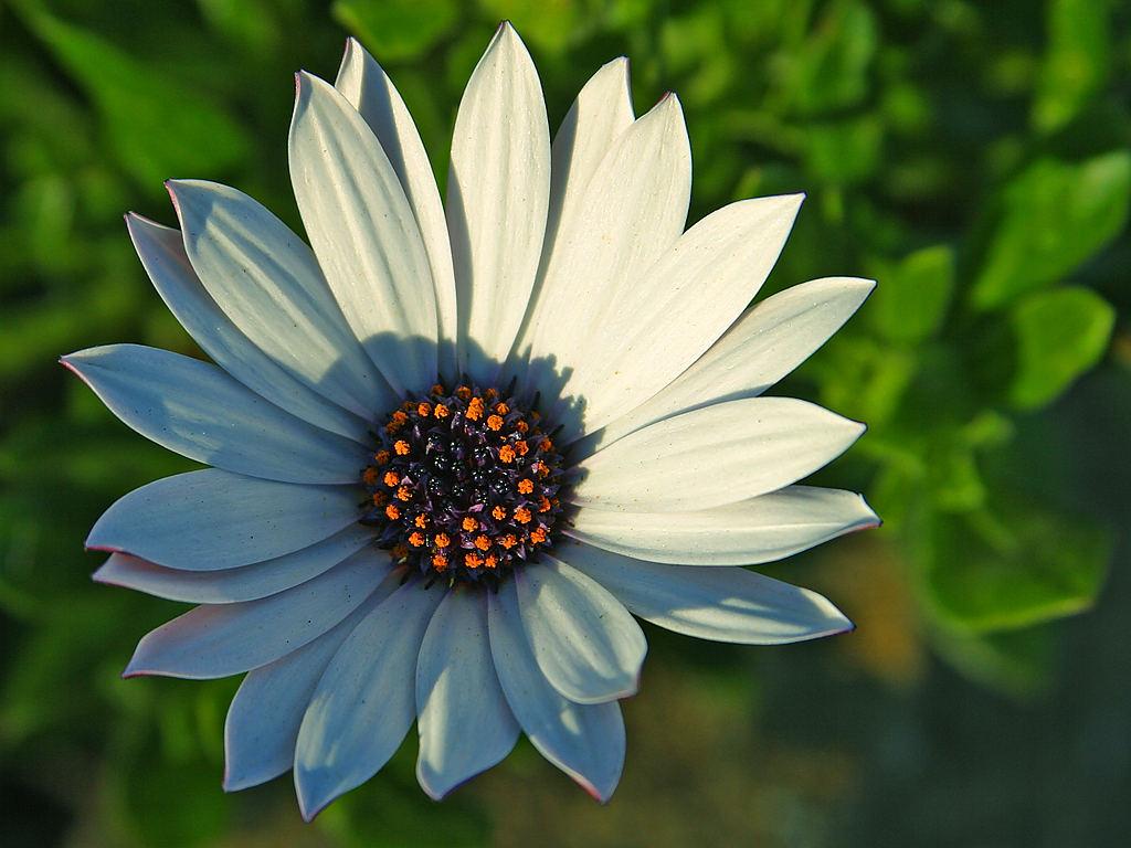 Sunflower daisy daisy izmirmasajfo Image collections