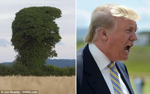 Tree Trump: The old elm looks ike Donald Trump