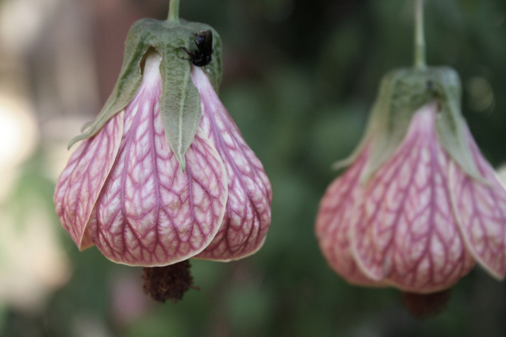 Abutilon pictum — from Brasilia, Brasil