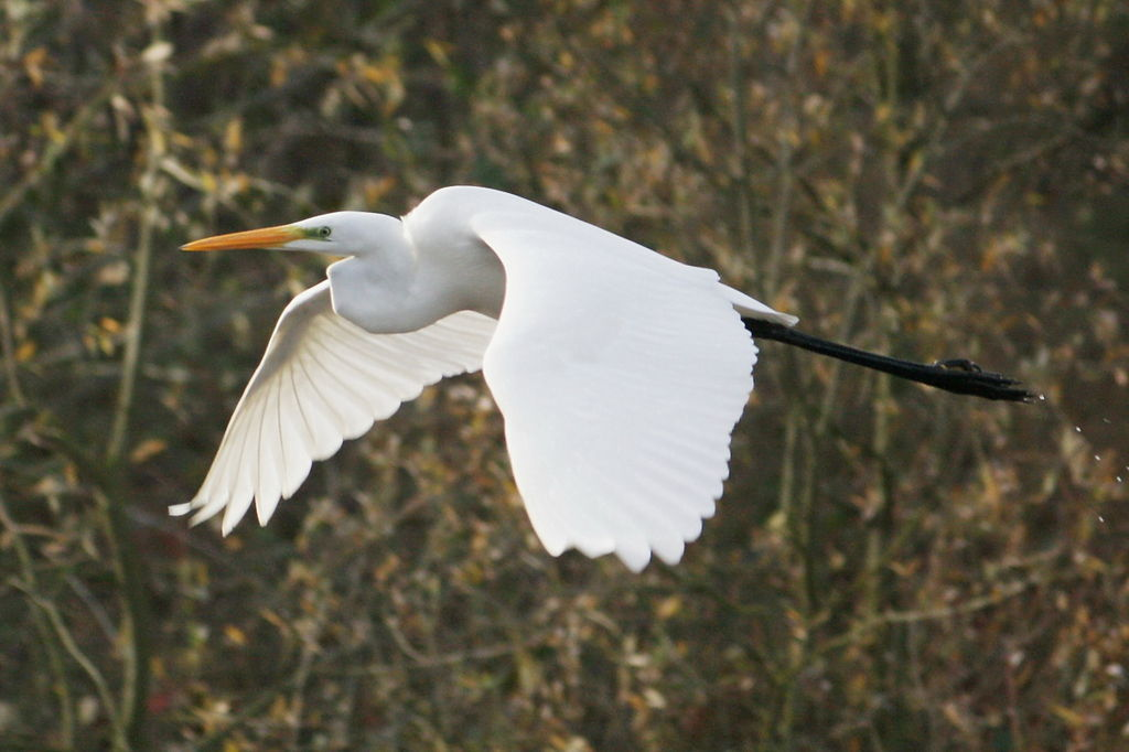 Great egret in Ilkerbruch nature reserve, Germany