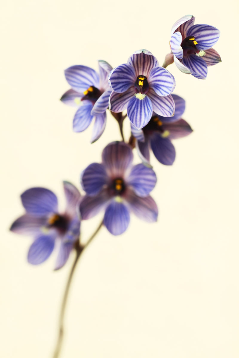 Thelymitra campanulata - 'Shirt' or 'bell' Orchid