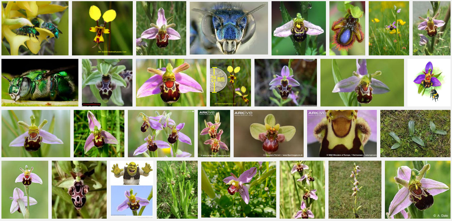 Ophrys (Bee Orchid)