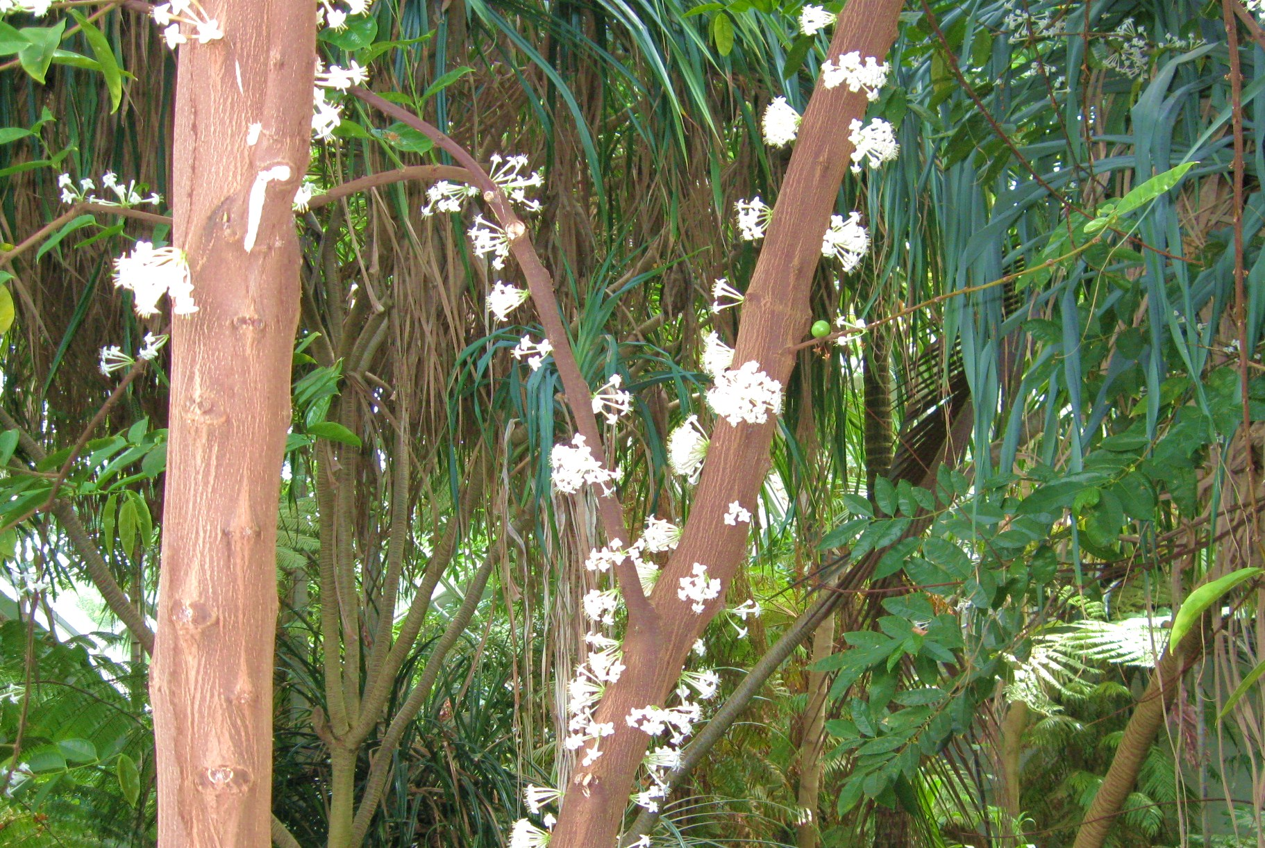 A blossoming tree trunk: Phaleria