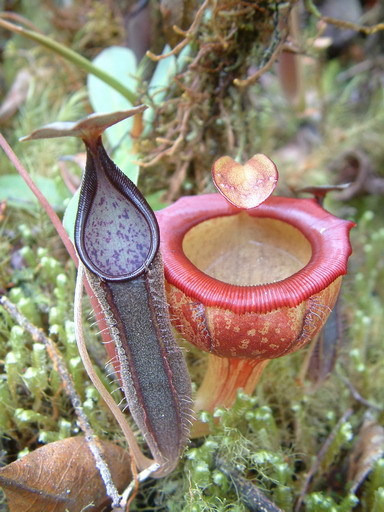 Nepenthes jamban and Nepenthes lingulata