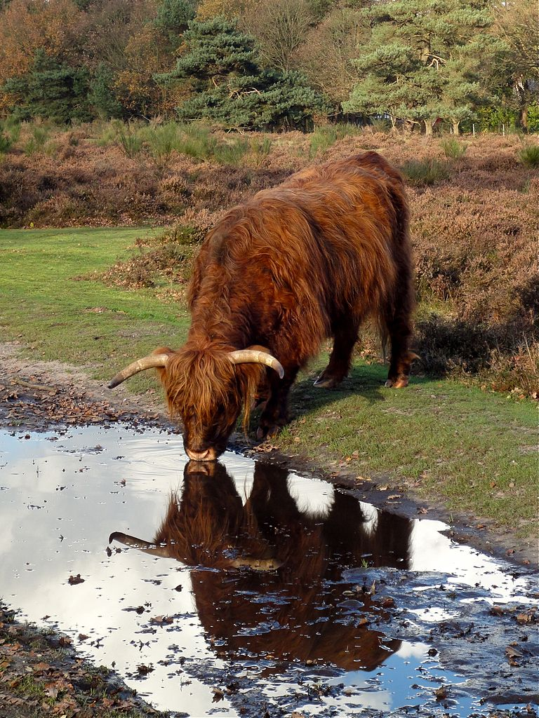 'Reflection of highland cattle (