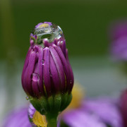 A drop of water on an Asteraceae