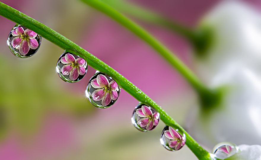 Stunning Reflection Photos:Flowers Reflected In Dewdrops