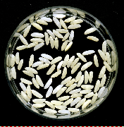 IR64 grains with the Vitamin A rice gene.