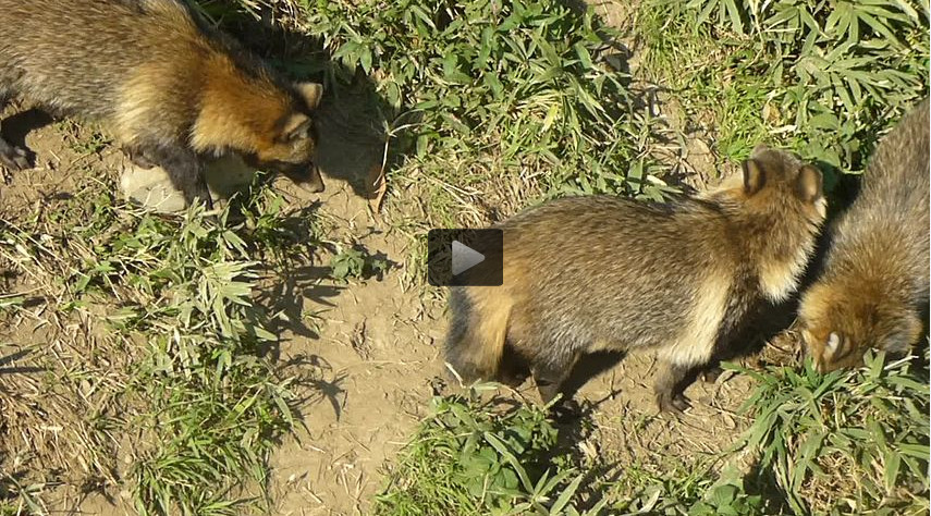 (video) Several raccoon dogs at Tobu Zoo in Saitama prefecture