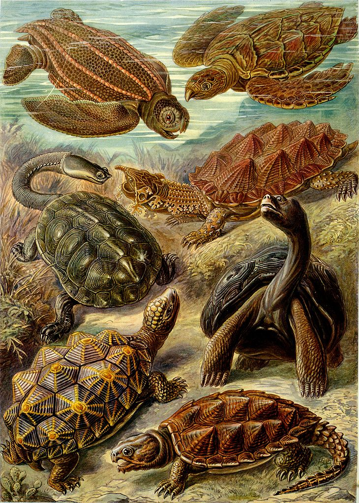 Illustration depicting organisms classified as Chelonia (turtles)