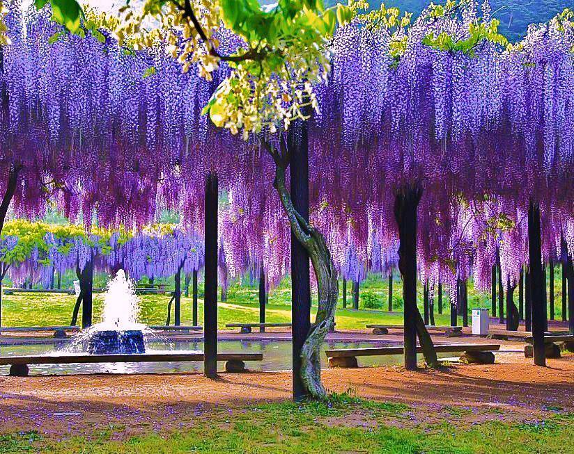 Wisteriajpg - Beautiful wisteria plant japan 144 years old