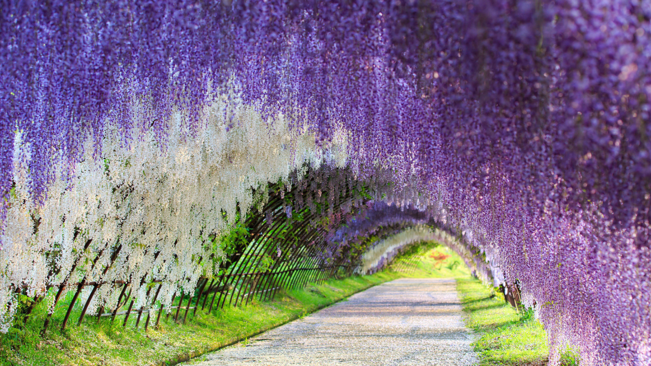 WisteriaKawachijpg - Beautiful wisteria plant japan 144 years old