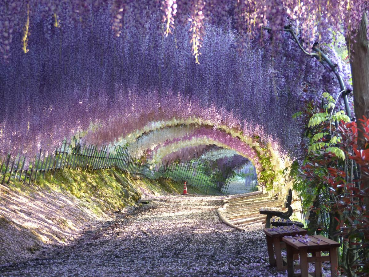 Wisteria Flower Tunnel Wisteria