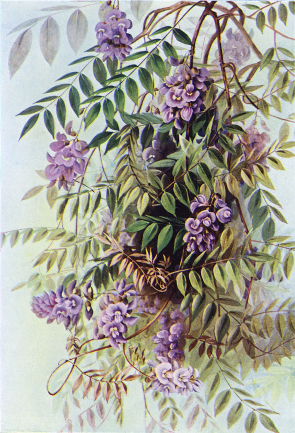 Wisteria frutescens (American wisteria) painting