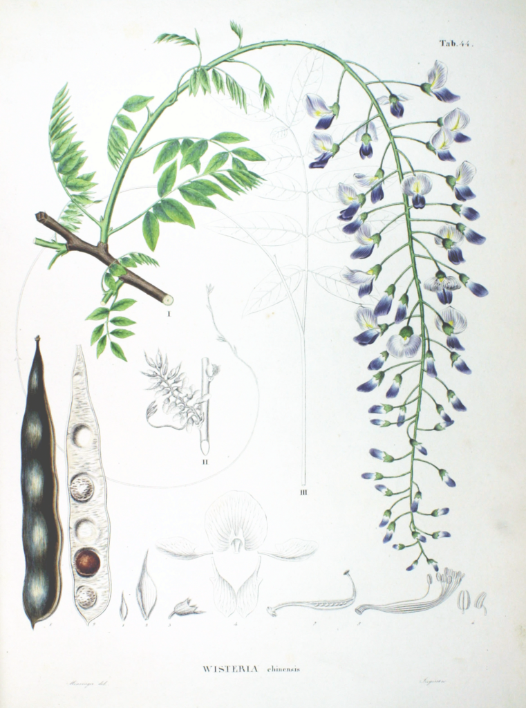 Wisteria sinensis (Chinese Wisteria) painting