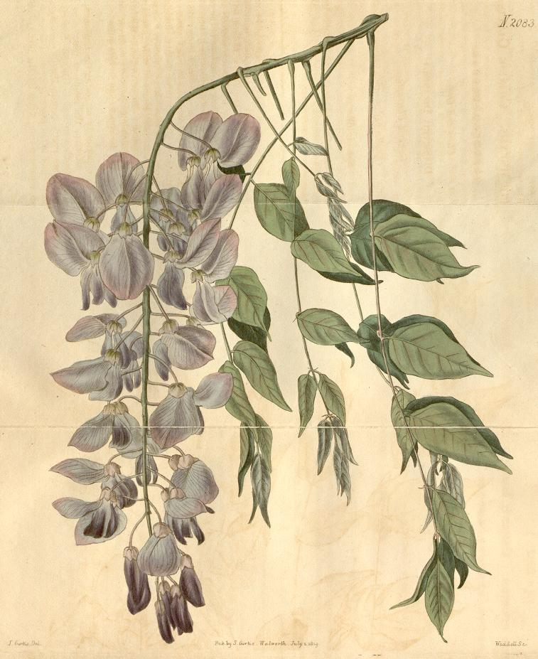 Engraving of Wisteria sinensis, from Curtis's Botanical Magazine vol. 46
